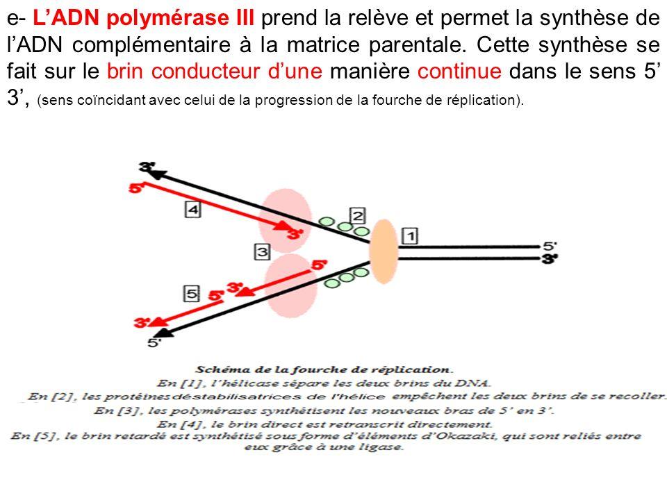 e- L'ADN polymérase III prend la relève et permet la synthèse de l'ADN complémentaire à la matrice parentale.