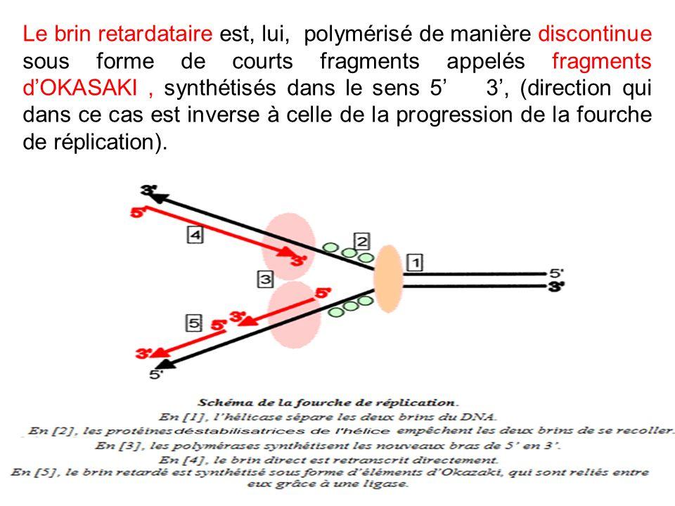 Le brin retardataire est, lui, polymérisé de manière discontinue sous forme de courts fragments appelés fragments d'OKASAKI , synthétisés dans le sens 5' 3', (direction qui dans ce cas est inverse à celle de la progression de la fourche de réplication).