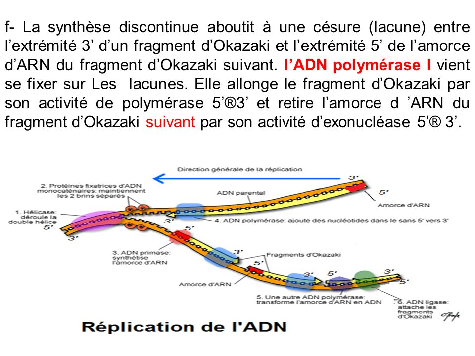 f- La synthèse discontinue aboutit à une césure (lacune) entre l'extrémité 3' d'un fragment d'Okazaki et l'extrémité 5' de l'amorce d'ARN du fragment d'Okazaki suivant.