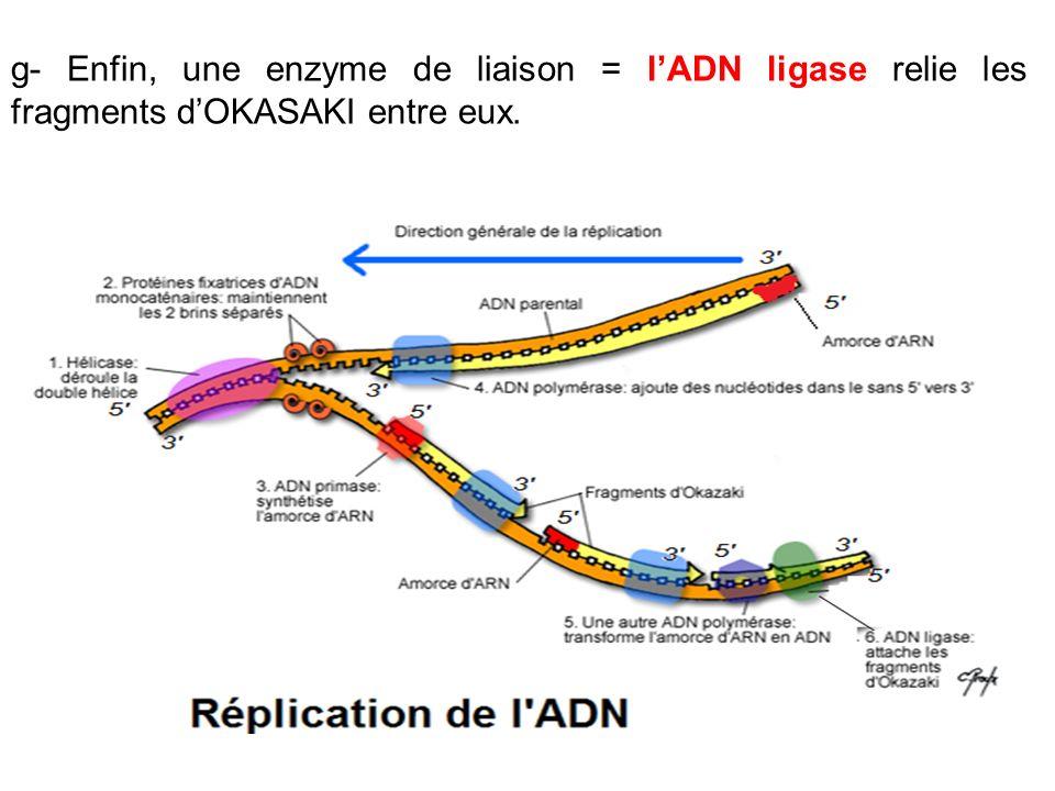 g- Enfin, une enzyme de liaison = l'ADN ligase relie les fragments d'OKASAKI entre eux.