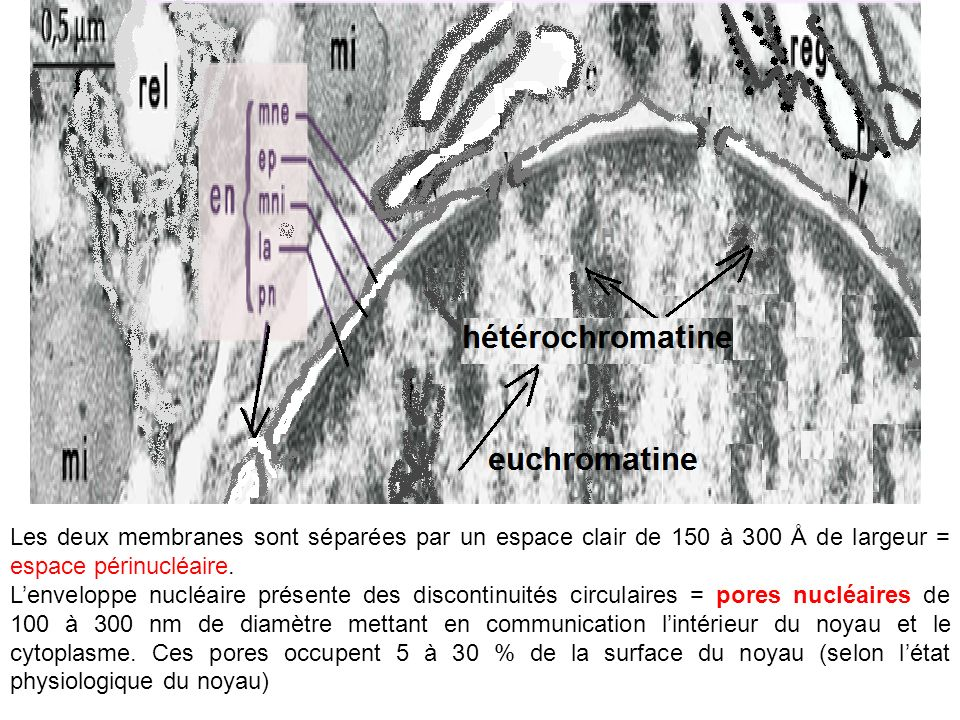 Les deux membranes sont séparées par un espace clair de 150 à 300 Å de largeur = espace périnucléaire.