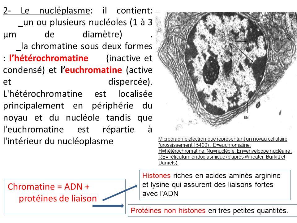 Chromatine = ADN + protéines de liaison