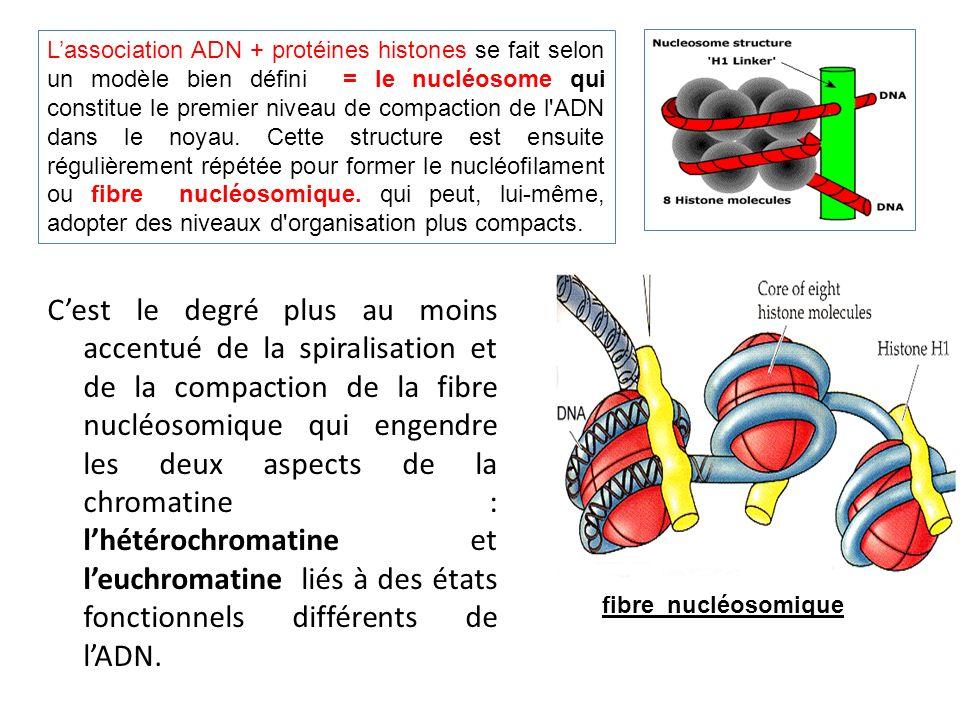 L'association ADN + protéines histones se fait selon un modèle bien défini = le nucléosome qui constitue le premier niveau de compaction de l ADN dans le noyau. Cette structure est ensuite régulièrement répétée pour former le nucléofilament ou fibre nucléosomique. qui peut, lui-même, adopter des niveaux d organisation plus compacts.