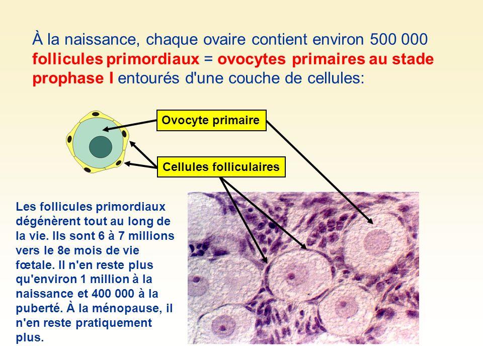 À la naissance, chaque ovaire contient environ 500 000 follicules primordiaux = ovocytes primaires au stade prophase I entourés d une couche de cellules:
