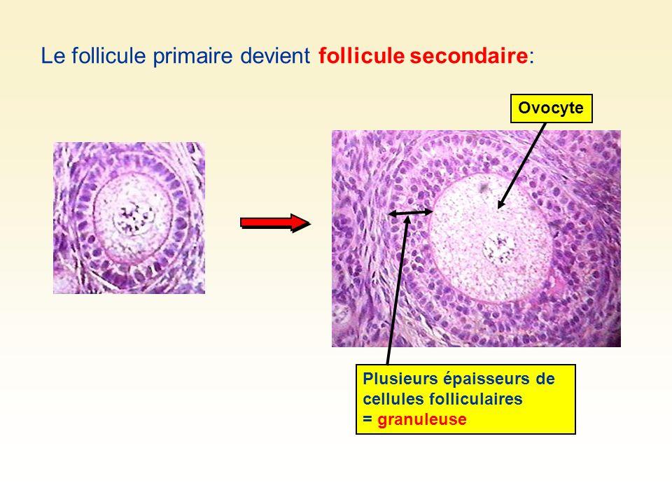 Le follicule primaire devient follicule secondaire:
