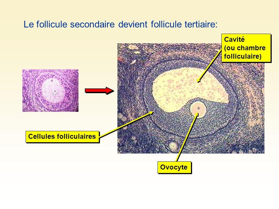 Le follicule secondaire devient follicule tertiaire: