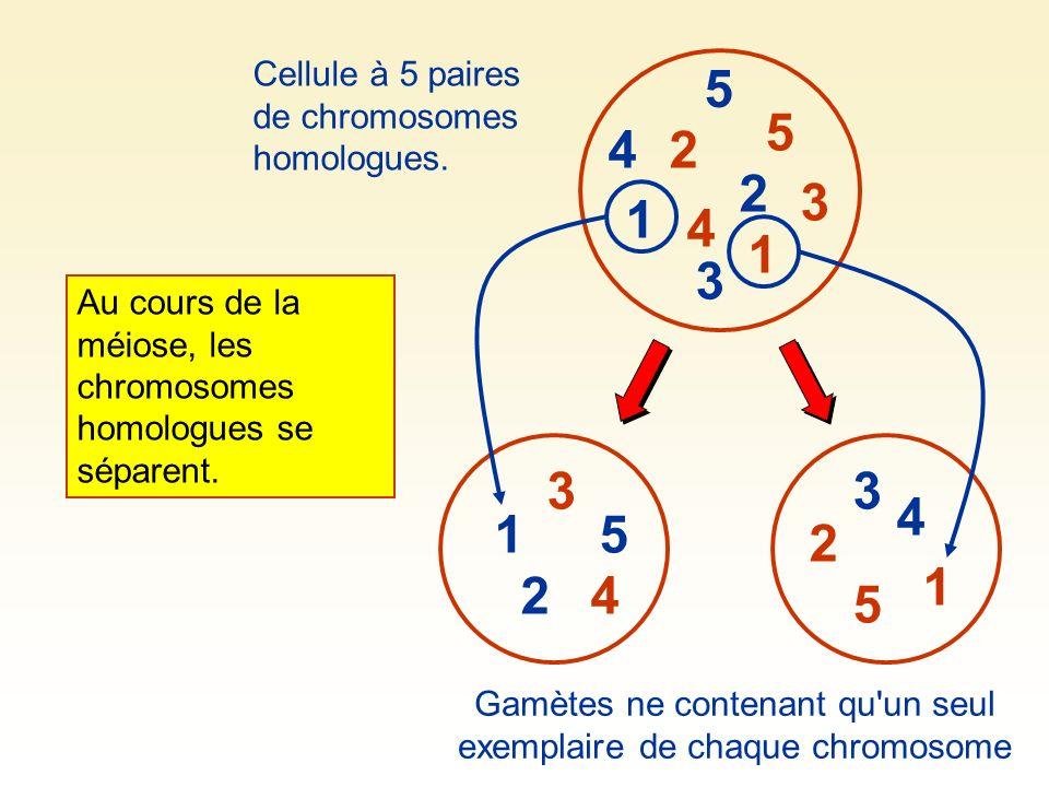 Gamètes ne contenant qu un seul exemplaire de chaque chromosome