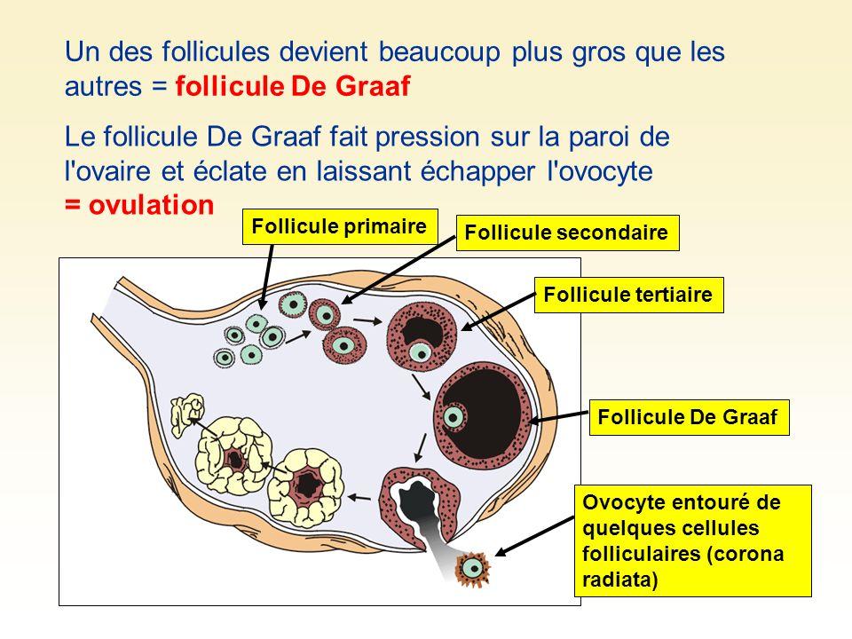 Un des follicules devient beaucoup plus gros que les autres = follicule De Graaf