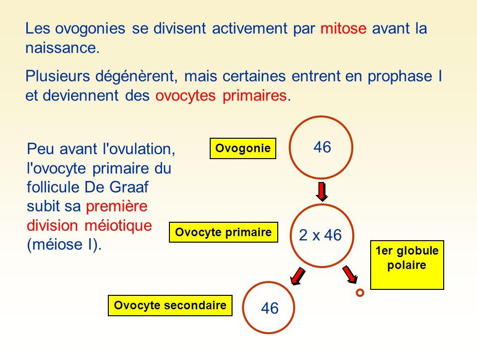 Les ovogonies se divisent activement par mitose avant la naissance.