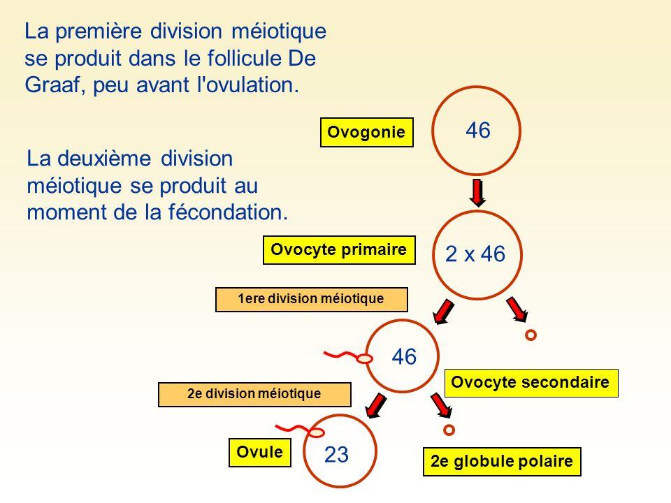1ere division méiotique