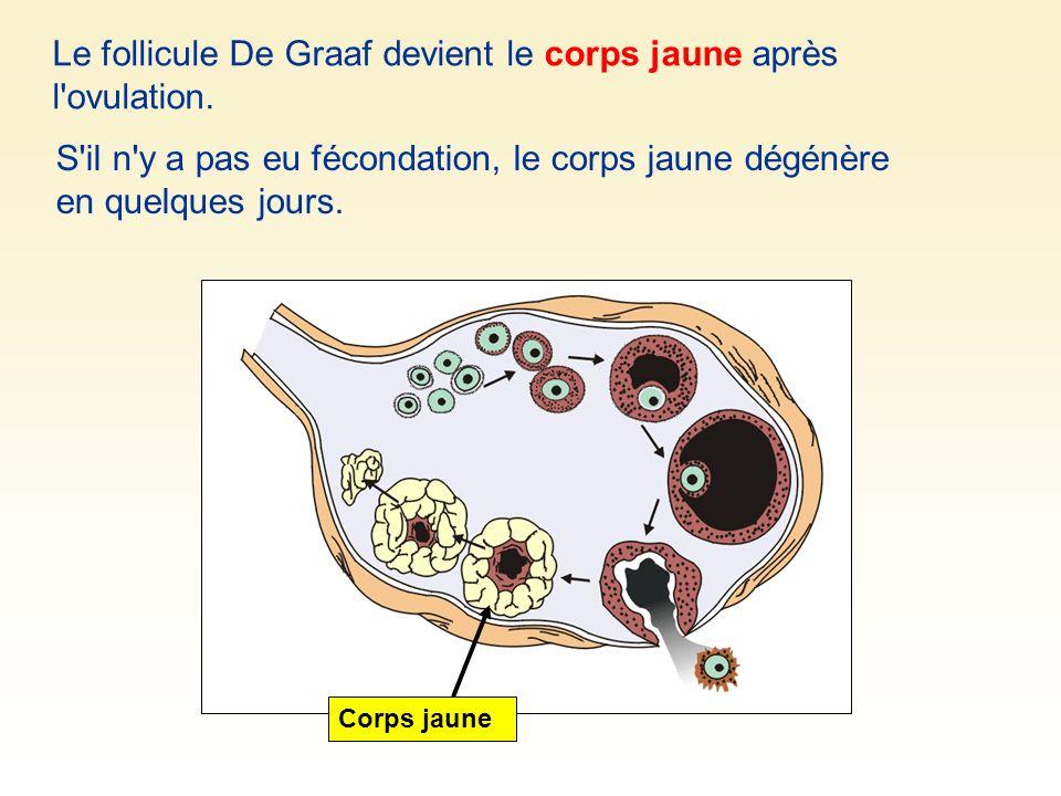 Le follicule De Graaf devient le corps jaune après l ovulation.