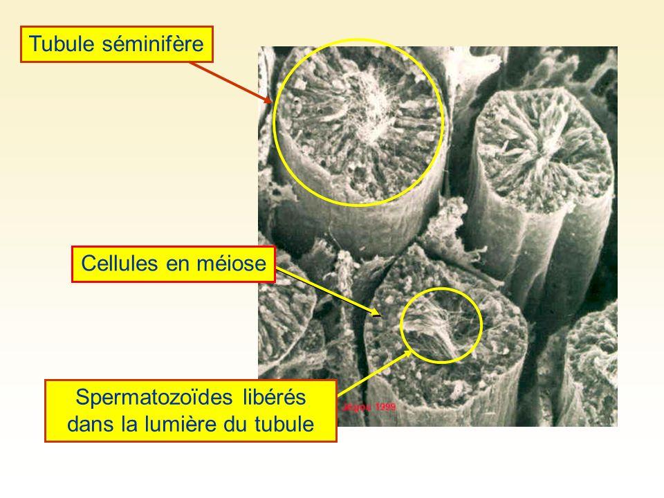 Spermatozoïdes libérés dans la lumière du tubule