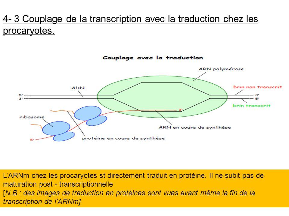 4- 3 Couplage de la transcription avec la traduction chez les procaryotes.