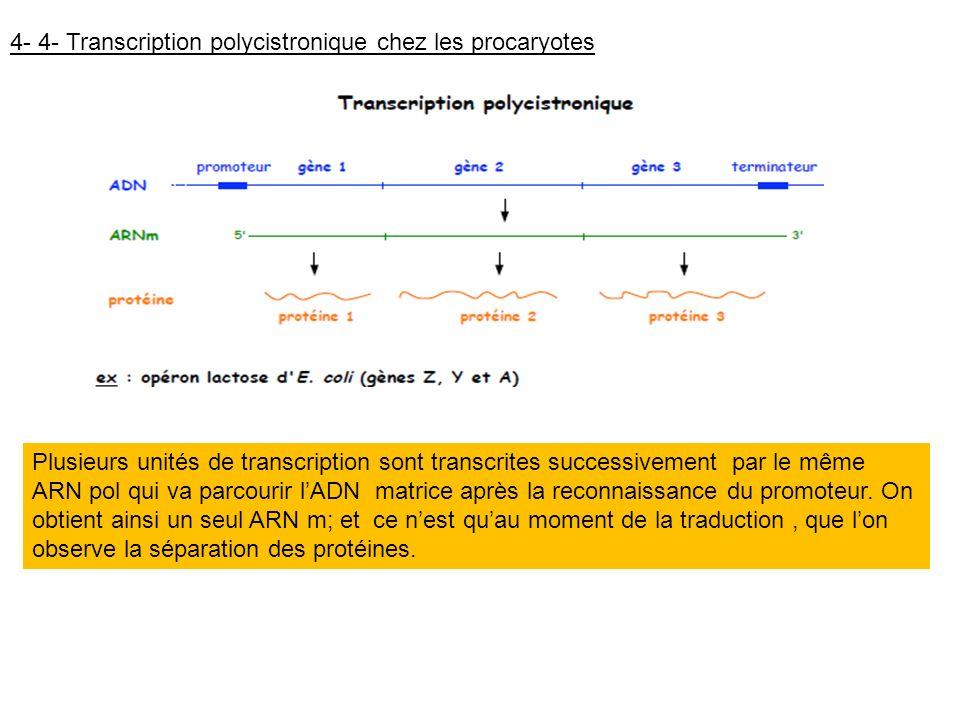 4- 4- Transcription polycistronique chez les procaryotes