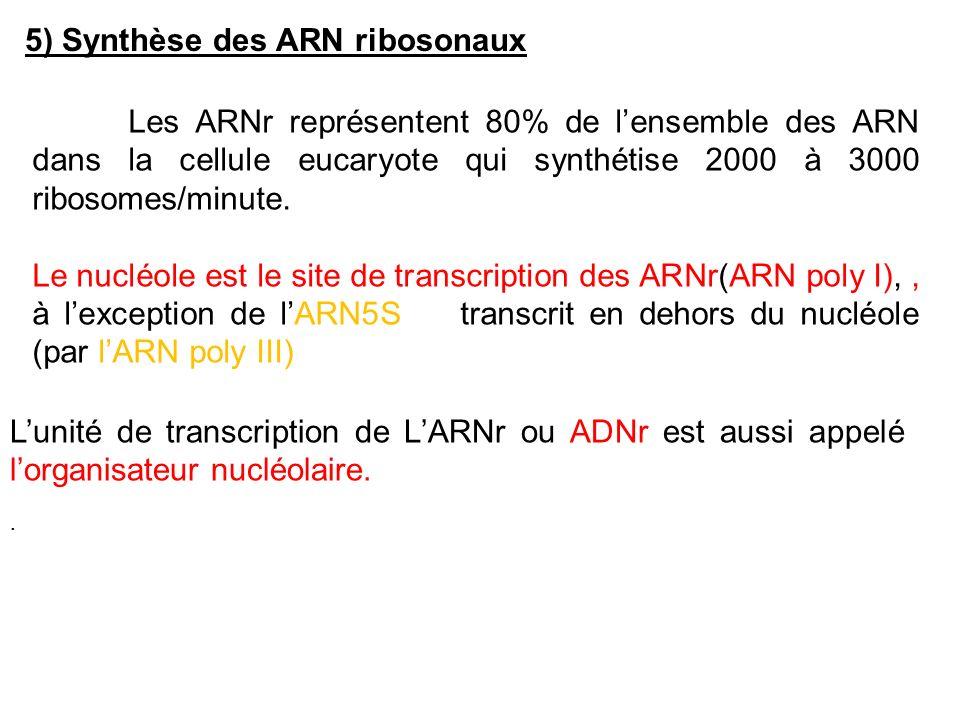 5) Synthèse des ARN ribosonaux