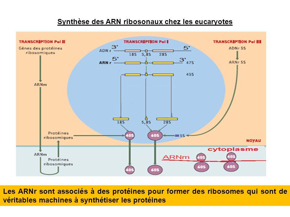 Synthèse des ARN ribosonaux chez les eucaryotes