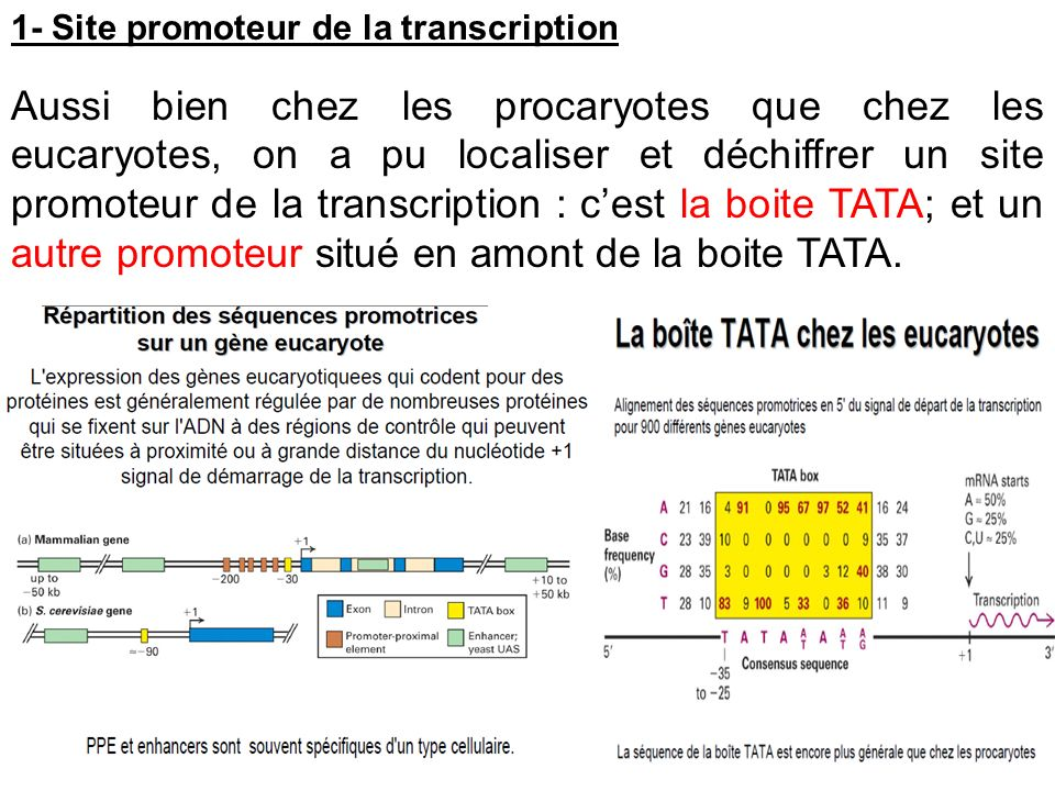1- Site promoteur de la transcription