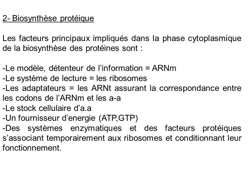 2- Biosynthèse protéique