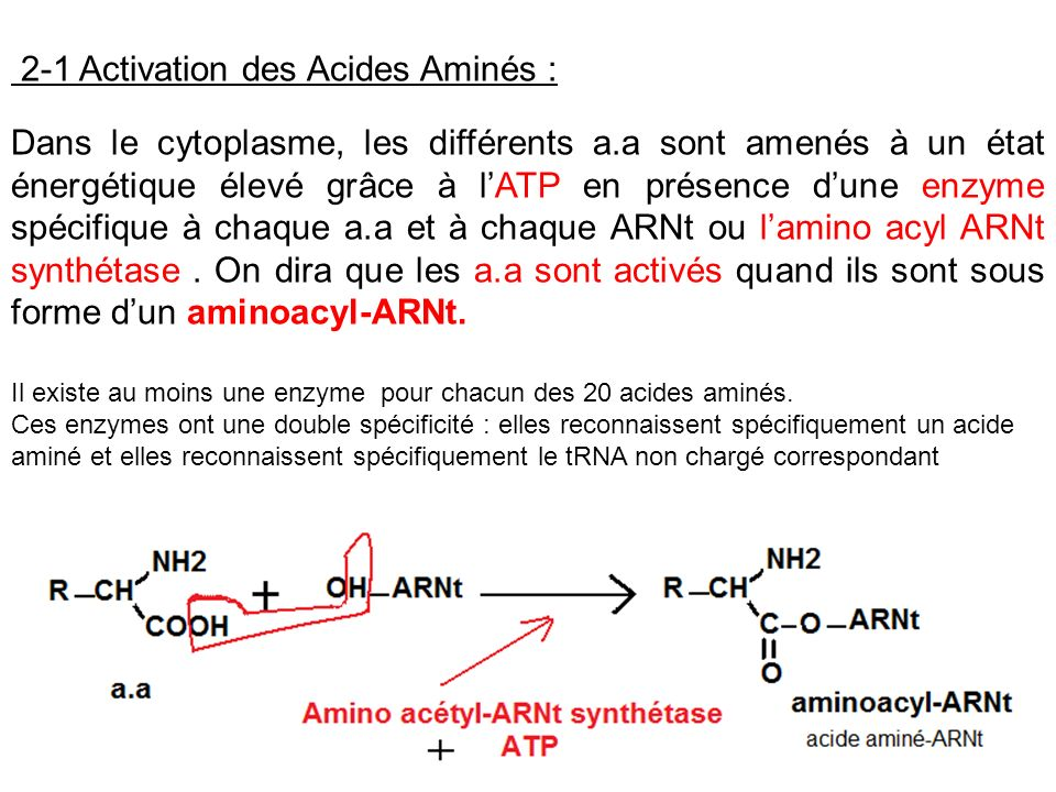 2-1 Activation des Acides Aminés :