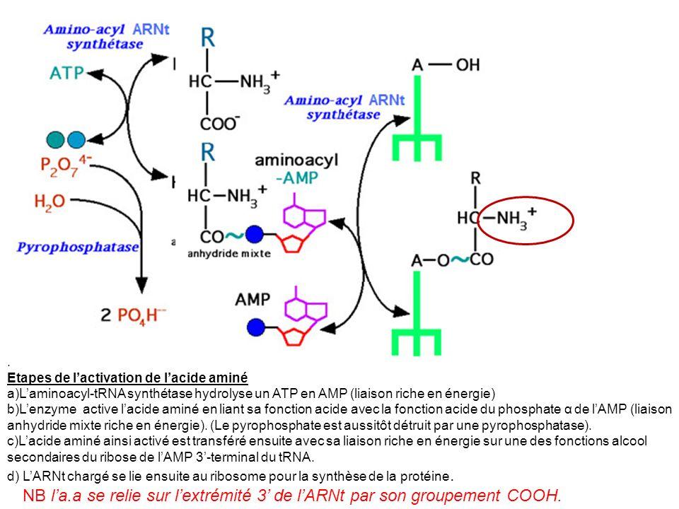 . Etapes de l'activation de l'acide aminé. L'aminoacyl-tRNA synthétase hydrolyse un ATP en AMP (liaison riche en énergie)