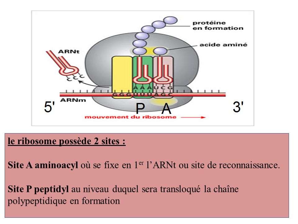 le ribosome possède 2 sites :