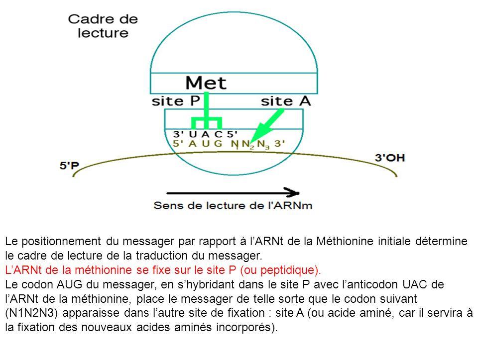 Le positionnement du messager par rapport à l'ARNt de la Méthionine initiale détermine le cadre de lecture de la traduction du messager.