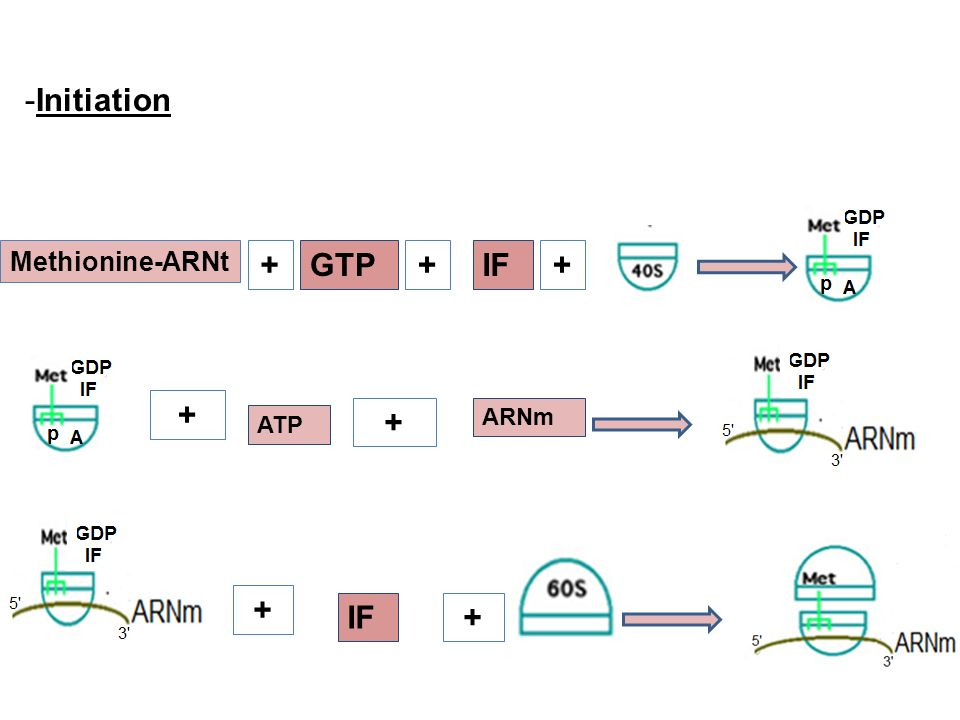 Initiation Methionine-ARNt + GTP + IF ARNm ATP + IF +
