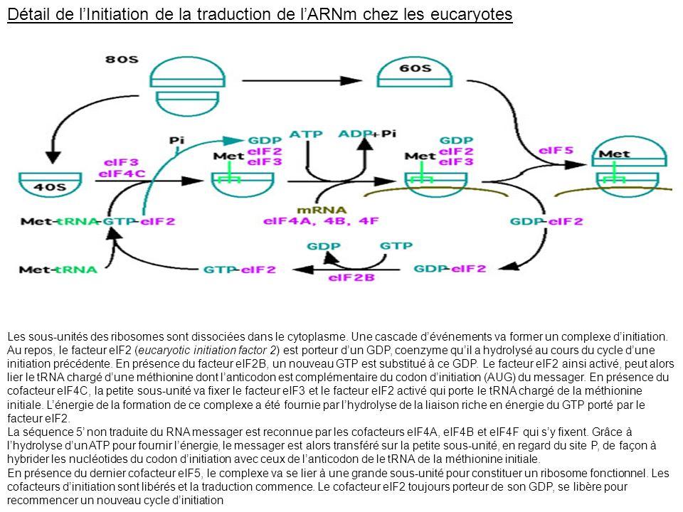 Détail de l'Initiation de la traduction de l'ARNm chez les eucaryotes