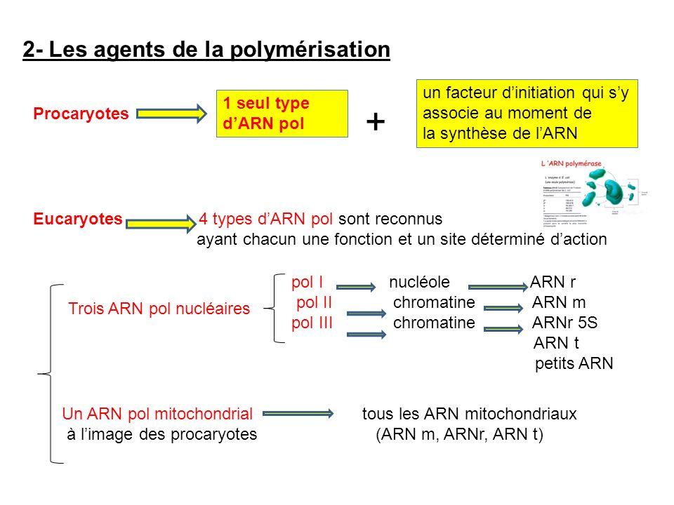 + 2- Les agents de la polymérisation .