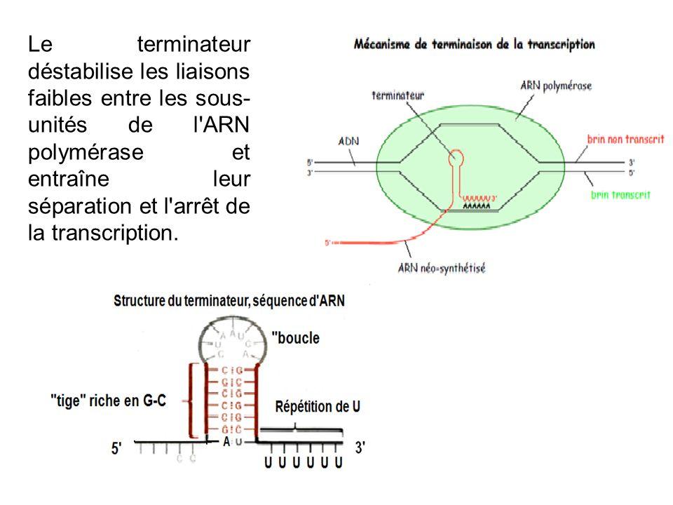 Le terminateur déstabilise les liaisons faibles entre les sous-unités de l ARN polymérase et entraîne leur séparation et l arrêt de la transcription.