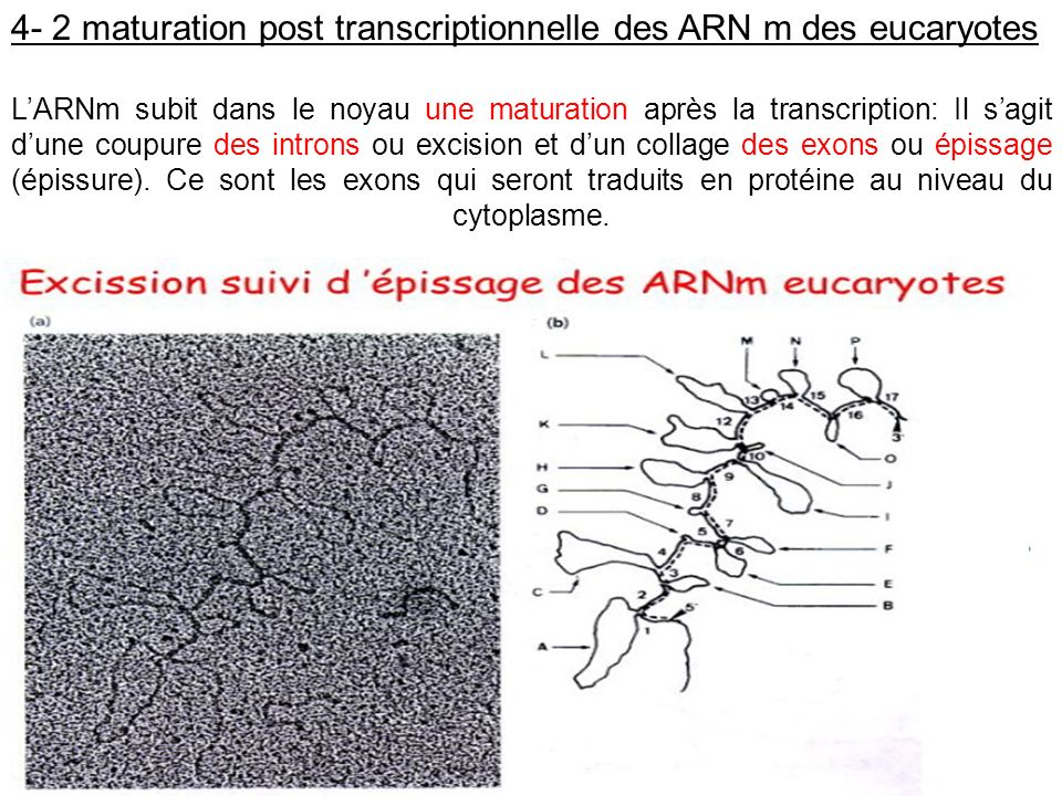 4- 2 maturation post transcriptionnelle des ARN m des eucaryotes