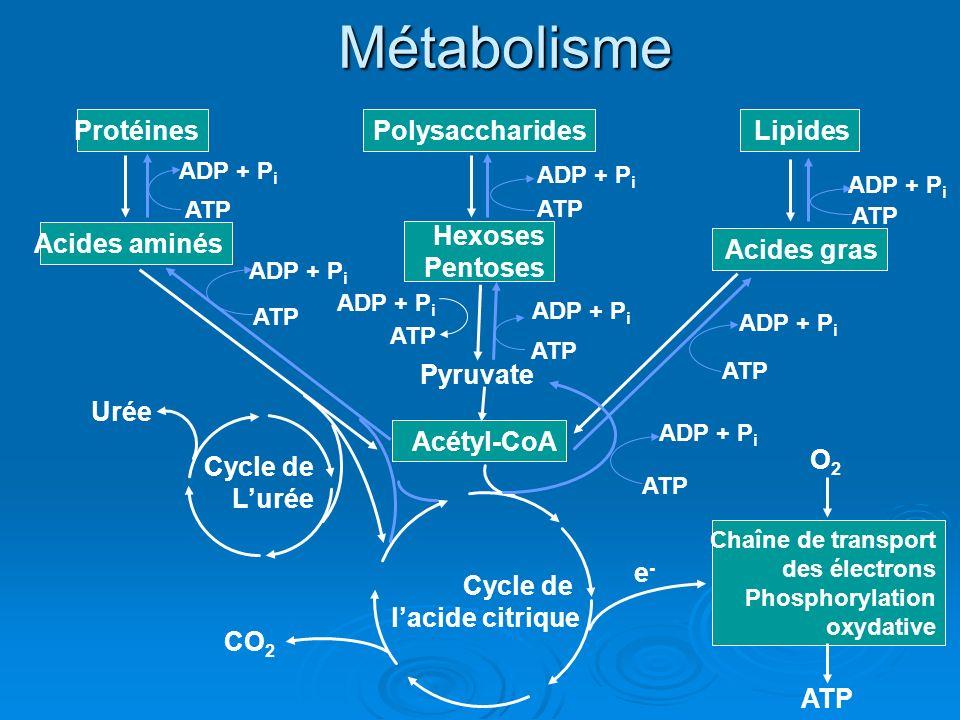 Métabolisme Acétyl-CoA Pyruvate Polysaccharides Hexoses Pentoses