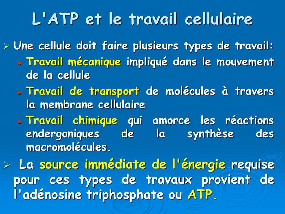 L ATP et le travail cellulaire