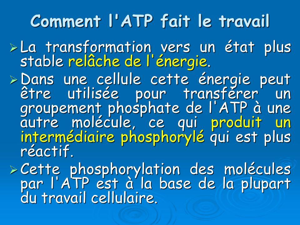 Comment l ATP fait le travail