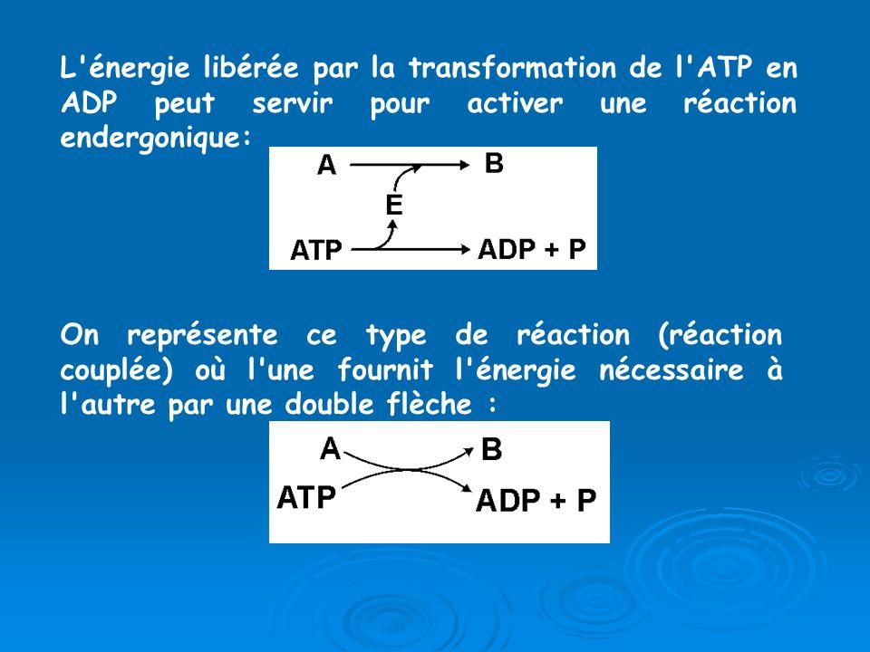 L énergie libérée par la transformation de l ATP en ADP peut servir pour activer une réaction endergonique: