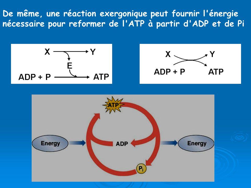 De même, une réaction exergonique peut fournir l énergie nécessaire pour reformer de l ATP à partir d ADP et de Pi