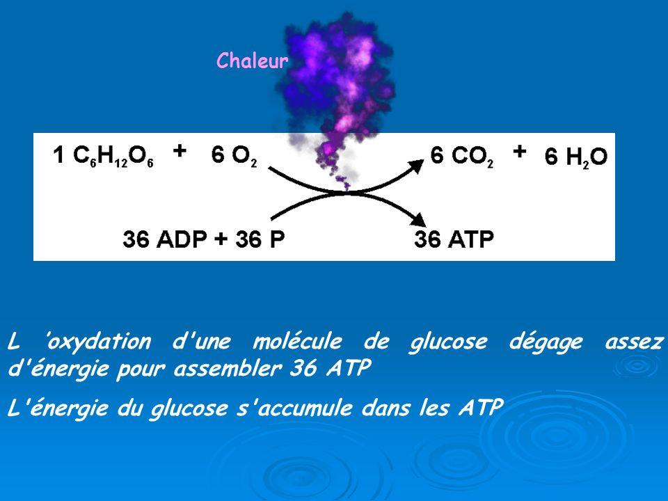 L énergie du glucose s accumule dans les ATP