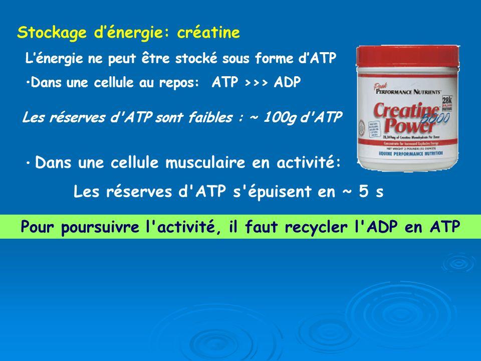 Pour poursuivre l activité, il faut recycler l ADP en ATP