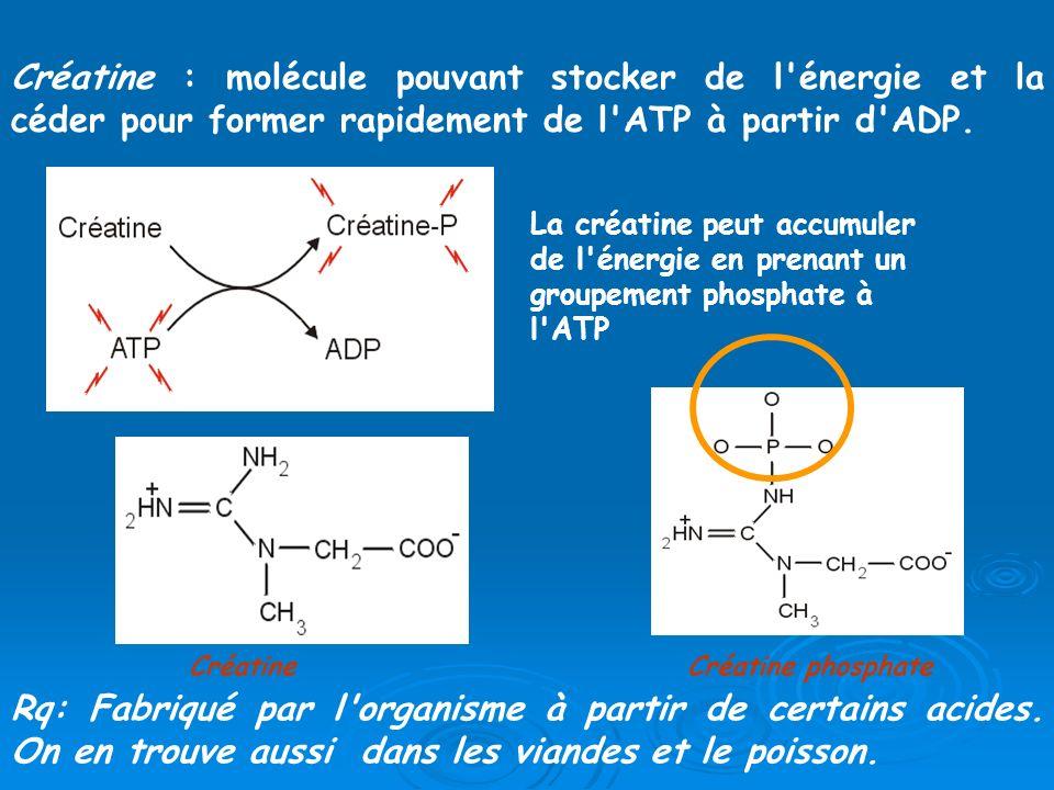 Créatine : molécule pouvant stocker de l énergie et la céder pour former rapidement de l ATP à partir d ADP.