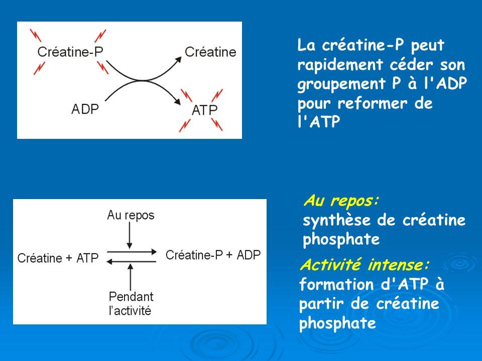 La créatine-P peut rapidement céder son groupement P à l ADP pour reformer de l ATP