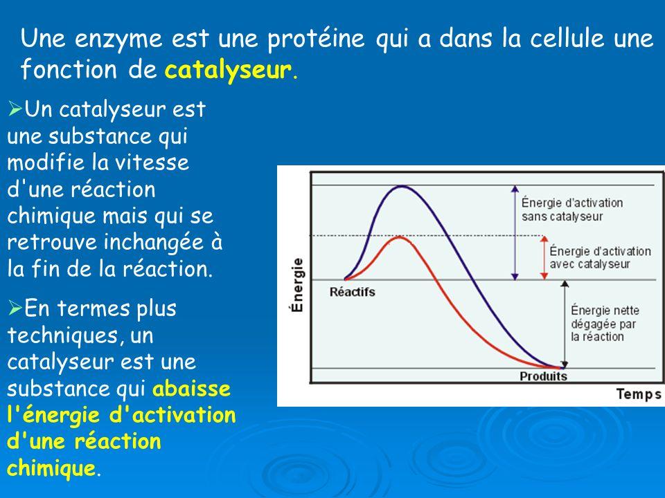 Une enzyme est une protéine qui a dans la cellule une fonction de catalyseur.