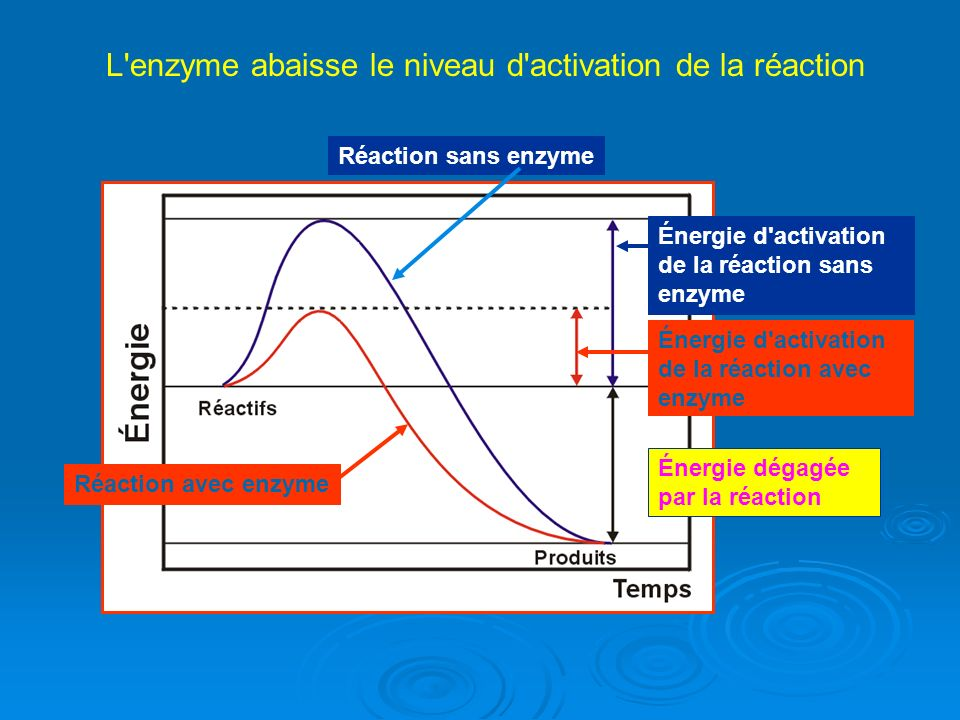 L enzyme abaisse le niveau d activation de la réaction