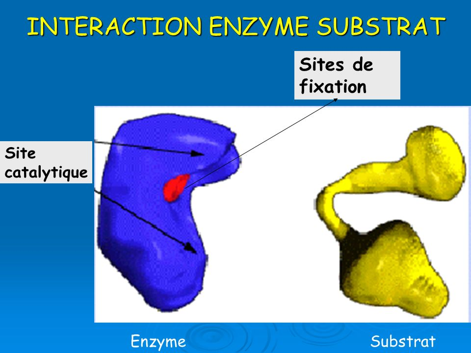 INTERACTION ENZYME SUBSTRAT