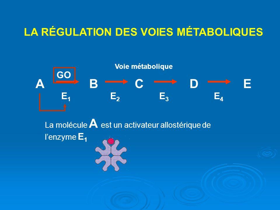 A B C D E LA RÉGULATION DES VOIES MÉTABOLIQUES GO E1 E2 E3 E4