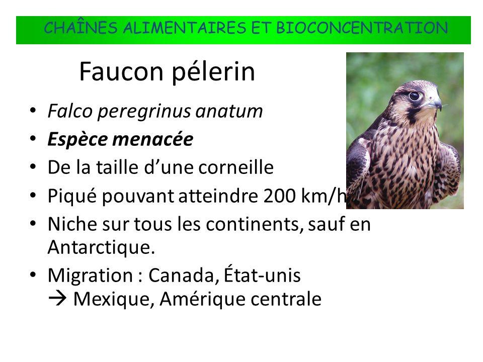 Faucon pélerin Falco peregrinus anatum Espèce menacée