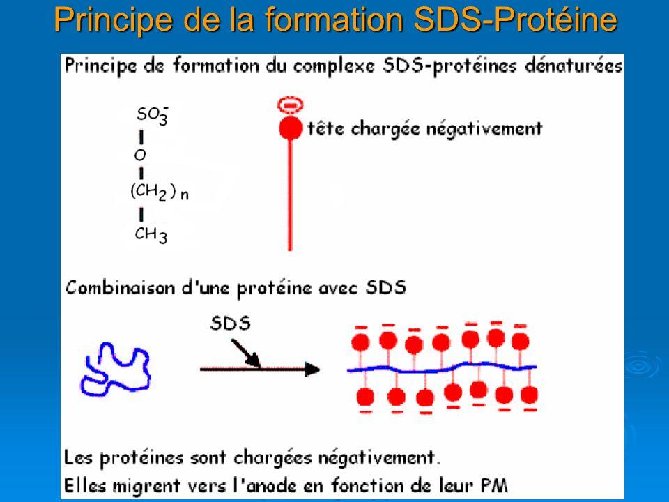 Principe de la formation SDS-Protéine