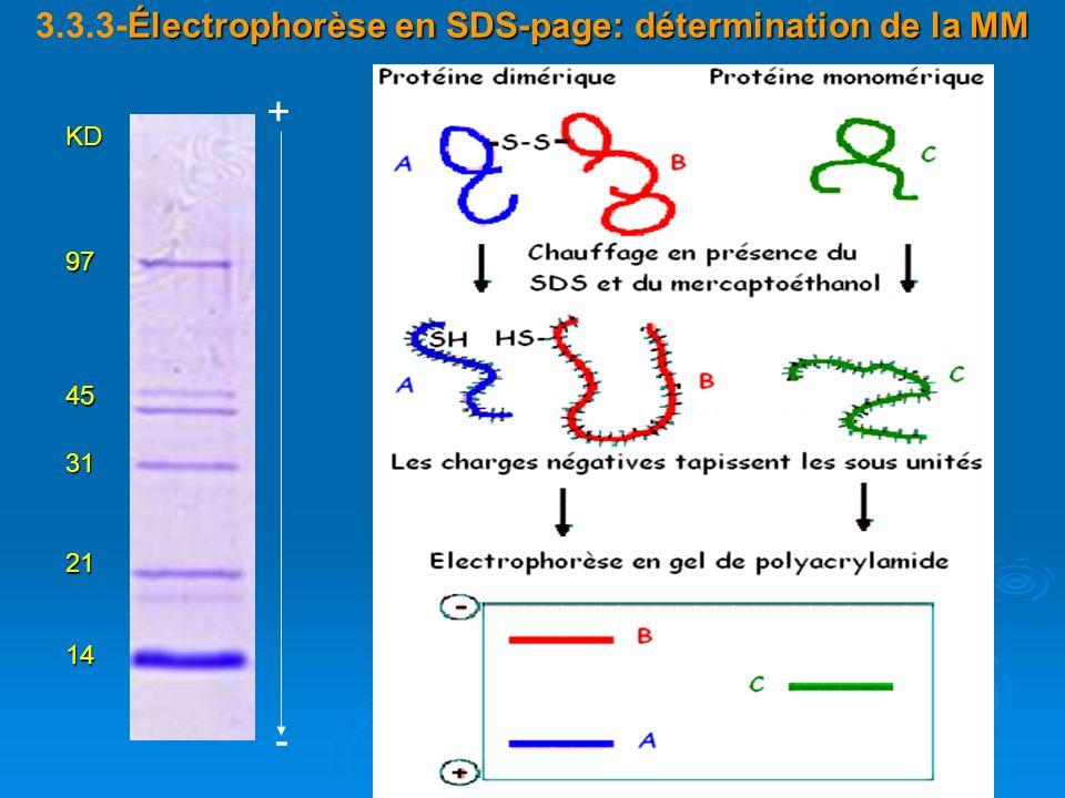 3.3.3-Électrophorèse en SDS-page: détermination de la MM