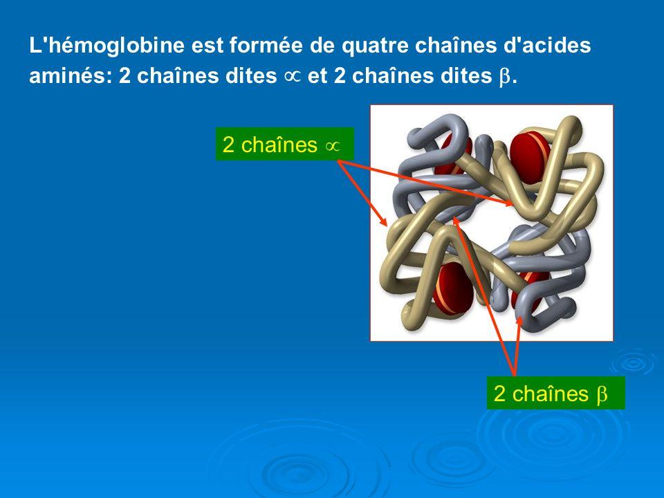 L hémoglobine est formée de quatre chaînes d acides aminés: 2 chaînes dites  et 2 chaînes dites .
