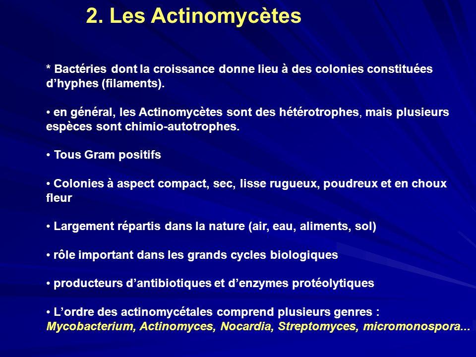2. Les Actinomycètes * Bactéries dont la croissance donne lieu à des colonies constituées d'hyphes (filaments).