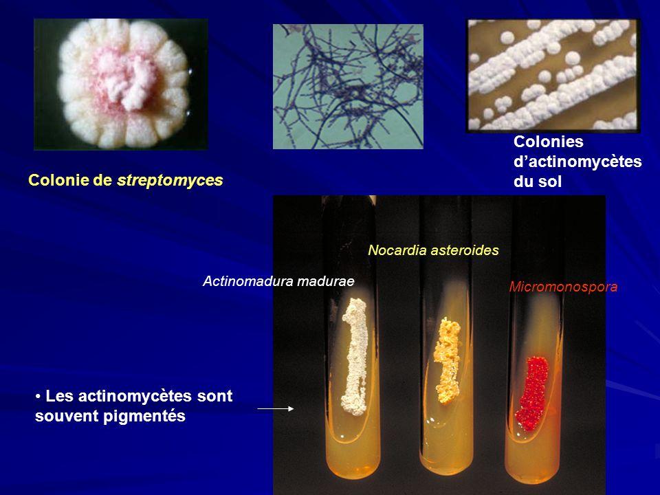 Colonies d'actinomycètes du sol